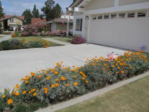 Front Yard poppies