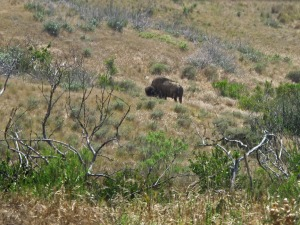 The elusive Catalina buffalo