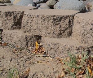 A long mountain garter snake in the back yard