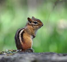 Earl Squirrel Chipmunk