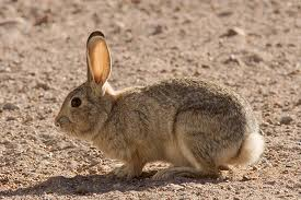 Cottontail who roams the neighborhood freely