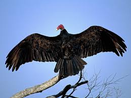 A turkey vulture sunning himself