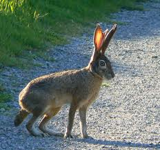 Jackrabbit - a large hare with larger ears
