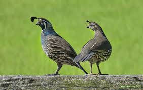 A pair of California quail