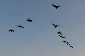 A skein of Canada geese in the early morning