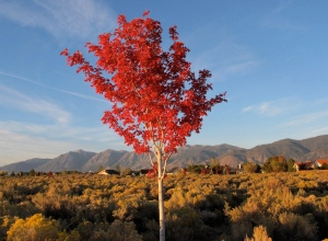 The luminous red tree