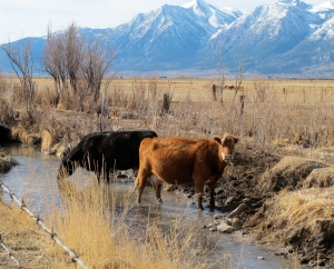Thirsty cows with the Sierras in the background(don't forget to click on the image to enlarge it)