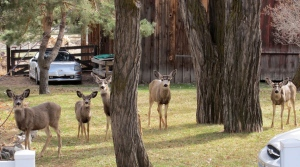 A deer family in downtown Genoa