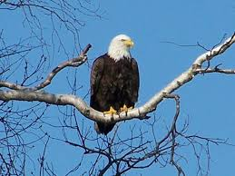 An internet shot of a bald eagle