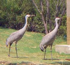 Sandhill cranes are tall like herons