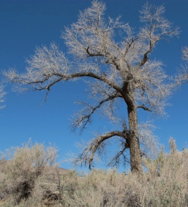An old Fremont cottonwood