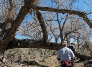 We grow large beavers here in Nevada!