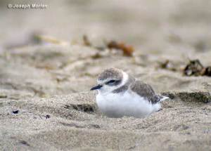 A little snowy plover on a nesting site
