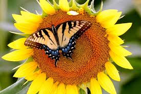 I'm hoping my sunflowers will look like this soon...complete with the butterfly