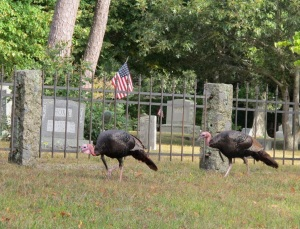 Turkeys in the cemetery