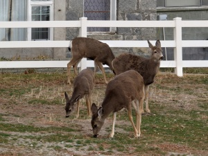 These four deer were part of a herd of 12 that were dining in a resident's yard.