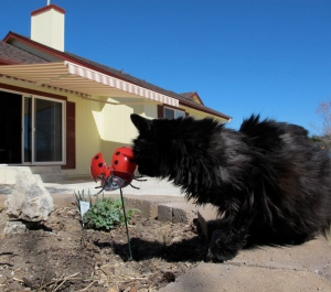I  stop for a sniff at a lady bug.  No response, so I move on.