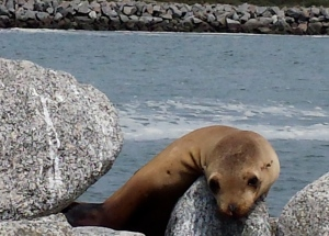 A small sea lion on the breakwater