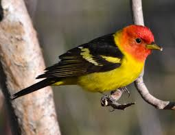 A Western tanager, about the size of a blackbird