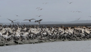 Pelicans on the breakwater.  The brown blobs to the right are sea lions camped on their section of the rocks