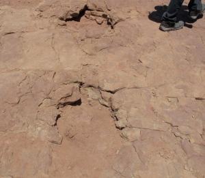 A Camarasaurus footprint.