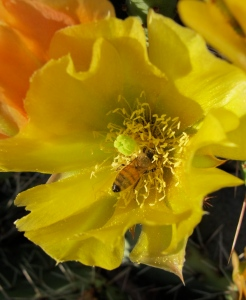 Shirley's bee in a prickly pear blossom