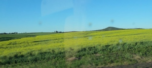 One crop that surprised us was the growth of canola plants. They look like a short mustard plant (at least that's what we thought as we were zooming along the highway. Sorry about the reflection from the window).