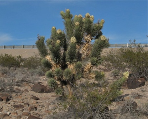 Mormon Pioneers named the Joshua Tree