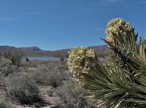 Not all Joshua trees bloom each year. It depends upon the rainfall and just right temperatures.