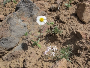 The only white daisy-type flower I found. A tiny phlox plant is in the low center
