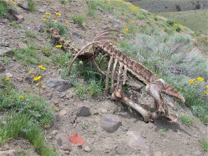 There was much evidence of the wild horses all over the area on which I walked. Hoofprints, horse apples, and, sadly, even a skeleton. I only show this because, even in death, the horse provided life to other creatures, and maybe even gave a bit of nutrient to the flowers that were growing through and around it.