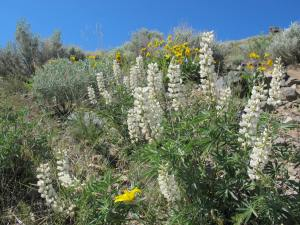 We saw several varieties of wild flowers and passed by some beds of white lupine that were so sweet that the odor was almost sickening.