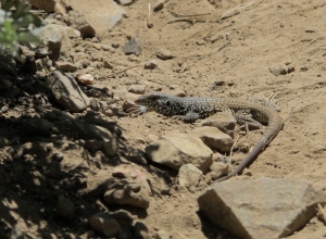 """The lizard below is the only critter we saw (besides birds). He was a large one, maybe 12"""" long. His tail might have had a mishap as it looked like it was growing back and didn't have the design that his body did. I'm thinking he might have been a type of alligator lizard."""