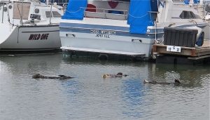 A small raft of otters sleeping in the marina