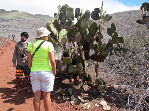 There are no tortoises or land iguanas on Rábida, so the cacti can grow their leaves (nopales) down to the ground. They also have soft needles that almost feel like hair. They don't poke the skin. Islands with the iguanas and tortoises have cacti adapted to have sharp needles and no leaves close to the ground. An example of how critters and plants have adapted to the island conditions.