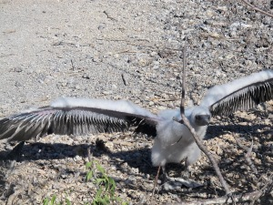 The same chick flexing its wings to gain strength. An adult's wing span is about 5 feet.
