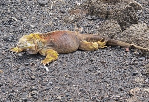 A male land iguana. We would see more of them in the wild the next day.