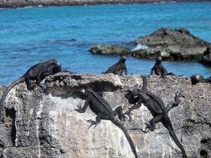 A group of marine iguanas on land is called a mess. who knew?