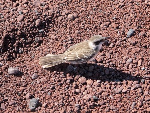 166Galapagos mockingbird