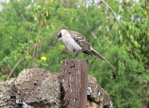 A male Galápagos mockingbird