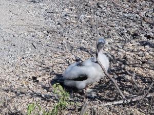 A Nazca chick