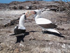 Nazca booby pair