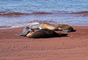 A nursing sea lion pup