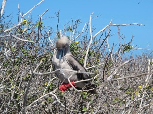 You'll note in this picture that their webbed feet can hang tightly to a tree branch, thus allowing them to perch.