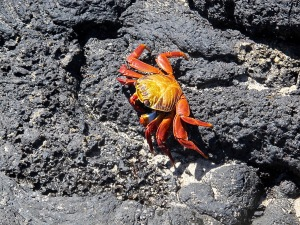 This is a Sally Lightfoot crab and the next picture is its tracks