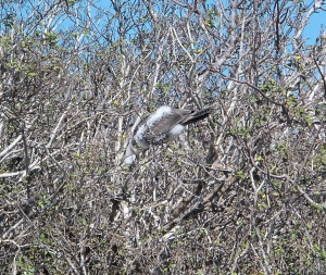 I saw a bird almost upside down in a tree and thought it was dead or drunk on some food that it ate.. It turns out that red-footed boobies fall into a very deep sleep and sometimes look like this.