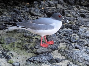A swallow-tailed gull