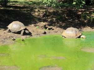Tortoise drinking with a follower into the pond