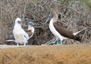 This blue-footed booby family was nesting on a short bluff above the sea lion.