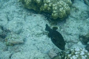coral with a Guineafowl pufferfish